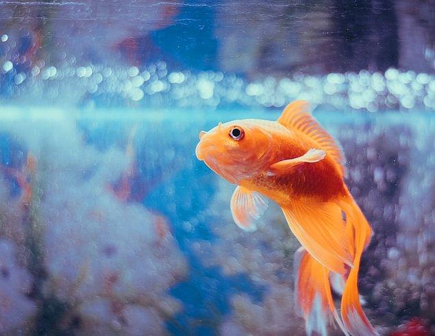 14. Japon balığı bir zamanlar geleneksel yıldönümü hediyesi olarak kullanılırdı.