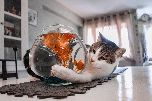 15. Japon balığına dokunmak balığın sağlığını tehlikeye atabilir.
