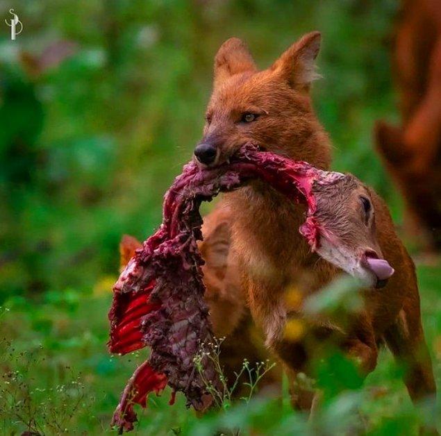 2. Geyik avlayan bir Asya yaban köpeği: