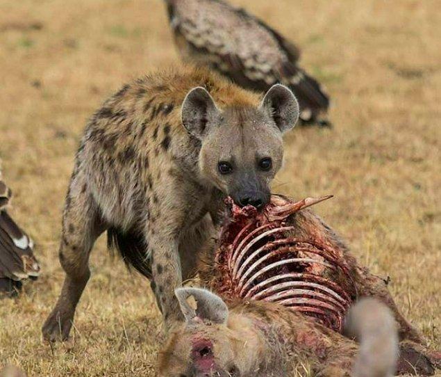 6. Akbabalar tarafından paramparça edilen bir türdaşının kalan etini yiyen sırtlan: