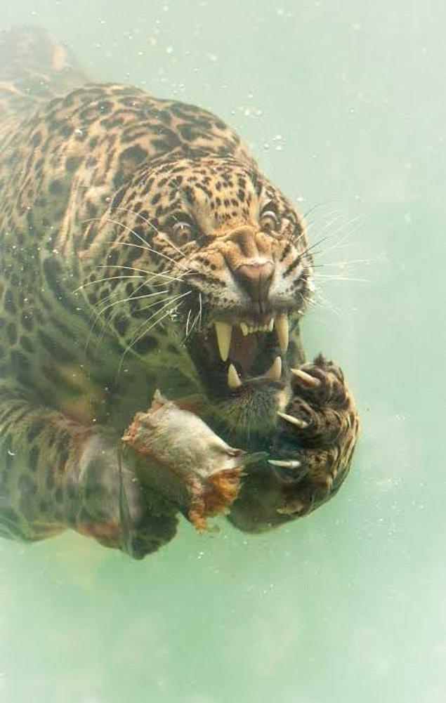 15. Ve son olarak, kanınızı donduran bakışlarıyla hepimizi ürküten bu jaguar: