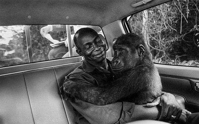 1. Vahşi hayvan etlerinin satıldığı bir pazardan kurtarılan gorilin kendisini kurtaran adama içimizi ısıtan bir şekilde sarılışı: