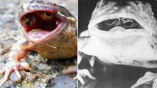 13. Uğradığı mutasyon sonucunda gözleri ağzının içinde çıkan kurbağa: