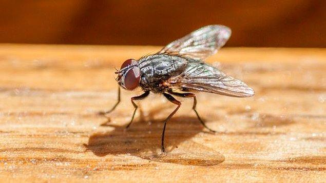 11. Kısa ömürlü sinekler