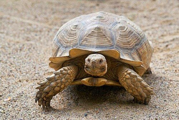 Kaplumbağa Yaşı Nasıl Hesaplanır?