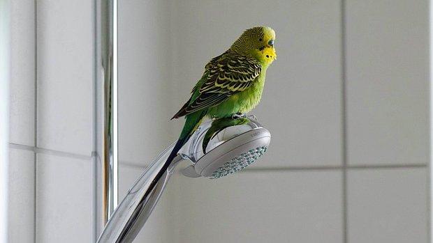 Muhabbet Kuşu Nasıl Yıkanır? Muhabbet Kuşu Nasıl Temizlenir?