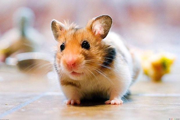 Hamster Nasıl Eğitilir? Hamster Bakım İncelikleri...